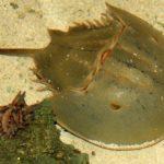 horseshoe-crab-347245_1920