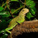 lizard-1556167_1920