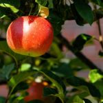 apple-tree-429213_960_720