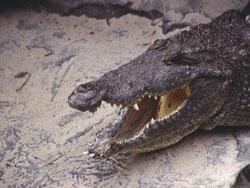 De kop van een hedendaagse alligator.