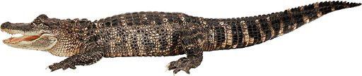 Een alligator.