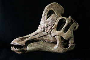 Gereconstrueerde schedel van Velafrons coahuilensis