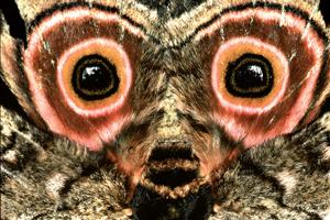 Emperor Speckled Moth, Gynanisa maja.
