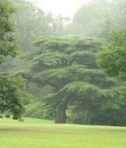 Cedrus libani, Tatton Park, Cheshire, UK. Foto ? Harry Harrington (http://www.bonsai4me.com/) met toestemming.