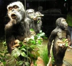 Expositie van australopithecus in de Apenheul, zomer 2006. Foto: Mathijs Schaap
