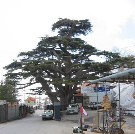 Afbeelding van een oude Libanonceder in Bcharr?, Noord Libanon. ?fotograaf Ds. R.J. van Amstel, met toestemming.
