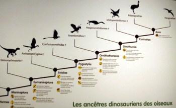 Deel van een cladogram die de veronderstelde evolutionaire relatie tussen Deinonychus en moderne vogels laat zien