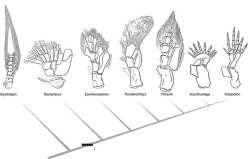 Cladogram van de voorvinnen van tetrapoda